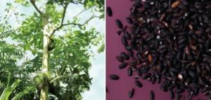 パウダルコ樹皮エキスと黒米エキス